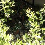 木香バラ 木の家